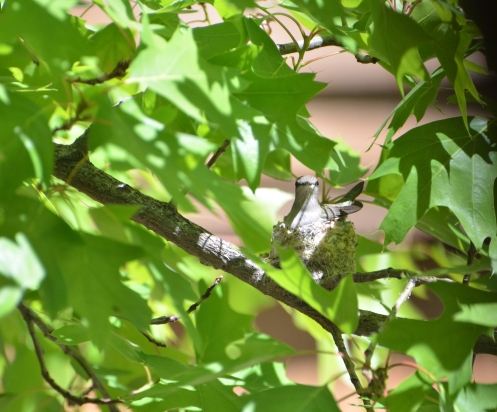 Hummingbird nesting-sunny2 4-17-20