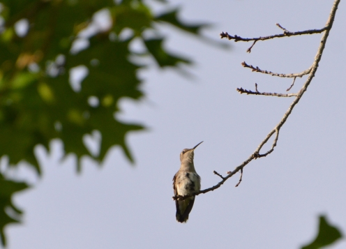 Hummingbird resting 4-17-20