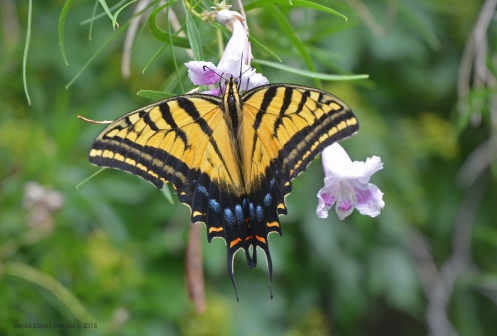 A giant Tiger Swallowtail enjoying a sip from the Desert Willow blossoms.