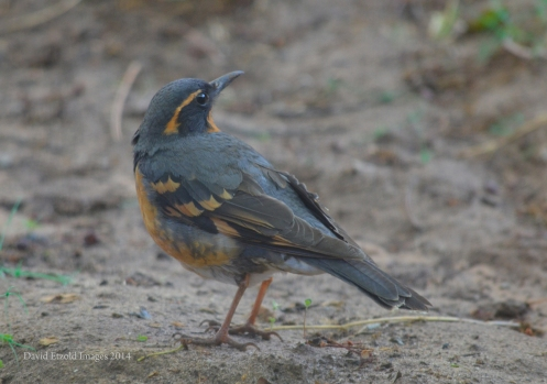 Close up using Nikon 300mm telephoto, Varied Thrush looking over his shoulder!