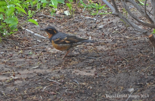 Varied Thrush-Male seen in the backyard of 4332 Donnybrook, El Paso, TX March 2014