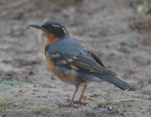 "Detailed close up of Varied Thrush using the ""facilities"" in our yard!"