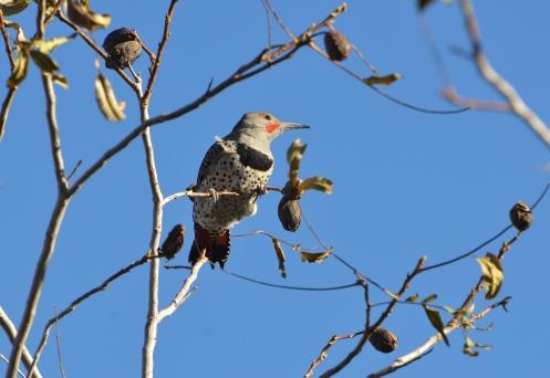 woodpecker-pecans 11-18