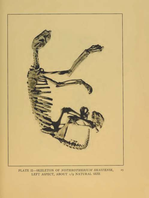 "Photograph of Restored Skeletal Remains: ""A Remarkable Ground Sloth"" Yale University Press 1929"